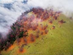 Flock (Zoltán Győri) Tags: zoltangyori győrizoltán sheep flock hill mountain pines autumn fall fog mist cloud beech