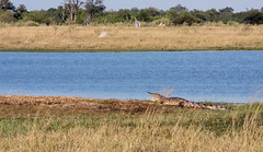 "Time to Wake Up _5528 (hkoons) Tags: chobenationalpark firstbridge magweegate mbomaisland southernafrica thirdbridge africa botswana crock magwee croc crocodile expanse grass horizon killer land landscape outdoors panorama reptile shrubs sky sunlight trees view water ""moremigamereserve"
