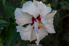 Flower Lanzarote (corinna1411) Tags: lanzarote canaryislands kanarischeinseln insel island flower flowers blume blumen blüte blossom white weis botanik natur nature spain spanien outdoors nikon nikond300 macro makro hibiskus hibiscus