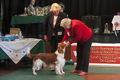 Diary_2016_158 (evinrisca) Tags: welshspringerspaniel wales chepstow open dogshow welshie spaniel