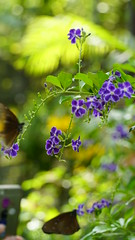 2019-02-11_12-41-52_ILCE-6500_DSC02792 (Miguel Discart (Photos Vrac)) Tags: 105mm 2019 animal animalphotography animals animalsupclose animaux butterfly chiangmai e18135mmf3556oss fleurs flowers focallength105mm focallengthin35mmformat105mm holiday ilce6500 iso250 nature naturephotography papillon pet sony sonyilce6500 sonyilce6500e18135mmf3556oss thailand thailande travel vacances voyage