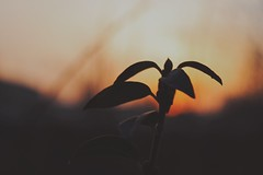 Mellow hour.. (erlingraahede) Tags: light fade moody vsco canon plant mellow sunset