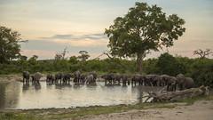 Elephants-at-the-Waterhole (Uniquely Nidge) Tags: botswana wildlife safari africa elephants waterhole dusk savuti