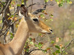 Chatting up guys at the dam  (Impala) (Pixi2011) Tags: antelope wildlife krugernationalpark southafrica africa nature animals