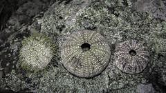 Lichen and urchins (jessicalowell20) Tags: coast gray green island lichen miane purple rock seashells seaurchins summer texture white circular
