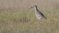 Curlew (JS_71) Tags: nature wildlife nikon photography outdoor bird new spring see natur pose moment outside animal flickr colour poland sunshine beak feather nikkor d500 wildbirds planet global national wing eye watcher 600mm 14 tc
