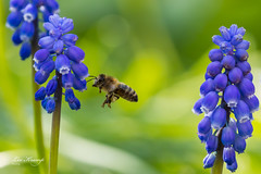 Grape Hyancint and bee | Blauw druifje met bij (Leo Kramp) Tags: netherlands leokrampfotografie waddinxveen wwwleokrampfotografienl blauwdruifje bij natuurfotografie 2019 bee grapehyacinth muscariarmeniacum bloemen