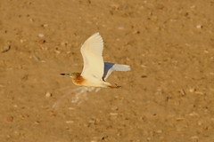 Squacco Heron (ardeola ralloides) (mrm27) Tags: israel eilat heron squaccoheron ardeola ardeolaralloides ibrce