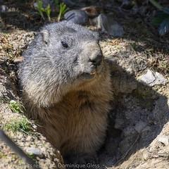 Parc animalier de Sainte Croix - Saison 2019 (6) (dom67150) Tags: lorraine marmot marmotte parcanimalierdesaintecroix rhodes