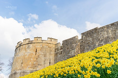 City walls with daffodils. (jack cousin) Tags: england northernengland spring uk york yorkshire ancientwalls architecture arrowslits bank battlements bloom bluesky bulb buttress city cloud daffodil daffodils defence embankment flower grass heritage historic history incline landmark landscape leaf medieval narcissus nature outdoor parapet petal ramparts season seasonal sky slope springtime stone stonework sunshine tree wall walls yellow nikond610