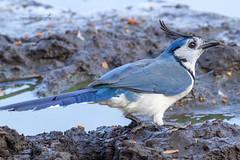 White-throated Magpie-Jay (Mario Arana G) Tags: 7d ave bird birding cr canon costarica estacionhorizontes florayfauna guanacaste marioarana nature naturephotography photography whitethroatedmagpiejay wildlife wildlifecostarica