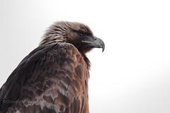 2019_04_12_5DMk4_03315 (Doug's Graphics) Tags: accipitridae accipitriformes aquila aquilachrysaetos aves bird canon2xiii canonef600mmf4lisiiusm canoneos5dmk4 colorado feather goldeneagle montevistanationalwildliferefuge