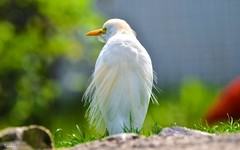 White - 6678 (ΨᗩSᗰIᘉᗴ HᗴᘉS +55 000 000 thx) Tags: pairidaiza bird nature égrette whitebird belgium europa aaa namuroise look photo friends be yasminehens interest eu fr party greatphotographers lanamuroise flickering sliderssunday hss