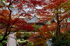 Autumn Leaves of Hase-dera Temple, Kamakura : 鎌倉・長谷寺の紅葉 (Dakiny) Tags: 2018 winter december japan kanagawa kamakura hase nikon d750
