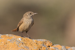 Canastero Chico (ik_kil) Tags: canasterochico cordillerancanastero asthenesmodesta farellones regiónmetropolitana avesdechile birds chile