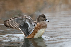 American Wigeon, Female II (dennis_plank_nature_photography) Tags: americanwigeon avianphotography ridgefieldnwr birdphotography naturephotography ridgefield wa avian birds home nature
