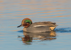 Teal (Male)-9483 (seandarcy2) Tags: ducks teal small marsh wild wildlife handheld wildfoul lincs uk
