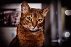 Jax (eacmich) Tags: pets cat abby abyssinian purebred feline canon 6d 24105mm flash 430ex2 cute love family home depth eyes fur whiskers