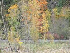 It was autumn (jamica1) Tags: salmon arm shuswap bc british columbia canada trees autumn fall colours
