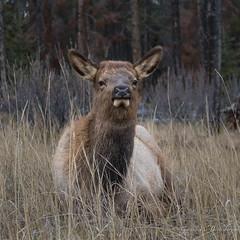 North American Elk (Turk Images) Tags: cervuscanadensis jaspernationalpark nationalparks northamericanelk rockymountains alberta canada cervidea mammals ungulates wapiti