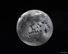 Interrupted moon shot (Pearce Levrais Photography) Tags: sky night flock bird geese goose moon full lunar canon