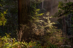 Enchanted Daybreak (dan@propeakphotography.com) Tags: america biospherereserve california crescentcity famousplace forest green internationallandmark jedediahsmithredwoodsstatepark nature northamerica redwoodnationalpark redwoodtrees touristattraction traveldestination travelandtourism trees unesco unescoworldheritagesite usa unitedstates yellow us natureinfocusgroup 300faves thenewmasterclass