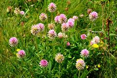 Un peu d'été (RarOiseau) Tags: alpesdehauteprovence fleur été montagne coldevars col nature vert green mountain pass summer flower
