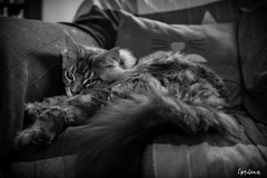 Moon BW (Epsilone83) Tags: cat maine coon animal