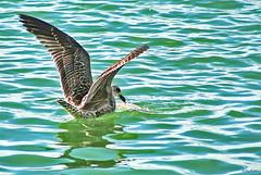 Alimento da gaivota (Zéza Lemos) Tags: algarve aves portugal pajaros pássaros vilamoura jardim natureza natur gaivota peixe praias marinas