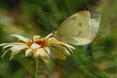Summer Dream (evisdotter) Tags: butterfly fjäril macro bokeh flower blomma 2in1 textured myart coth coth5