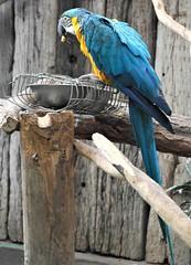 _SAM2785 (maddoctorartist) Tags: birds worldofbirds southafrica houtbay jackasspenguin goldenpheasant oriole starling peacock peahen ducks ibis himalayanmonal parrot macaw pigeons