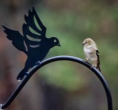 What's up? (Kelly_MR) Tags: depthoffield dof bokah finch birds backyardbird olympus olympusomdem1markii em1markii em1