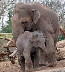 asiatic elephant Nicolai en  sanuk artis 094A0313 (j.a.kok) Tags: olifant asiaticelephant aziatischeolifant animal artis asia ape elephant mammal zoogdier dier nicolai sanuk