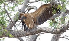 White-backed Vulture-6653 (Theo Locher) Tags: birds gypsafricanus oiseaux vogels vögel whitebackedvulture witrugaasvoël krugernationalpark kruger zuidafrika southafrica copyrighttheolocher