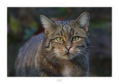 Wild Cat (Max Angelsburger) Tags: wild cat wildcat wildlife wildpark pforzheim northernblackforest nordschwarzwald badenwürttemberg 2018 fiftyshadesofnaturestunningshotsigersmoodadventurethatislifenaturebrilliancekeepitwildnaturesultansmastershotsourplanetdailypznewspforzheimgram