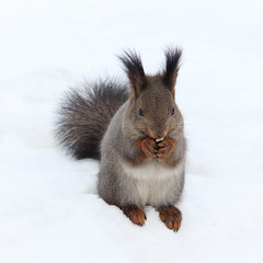Squirrel (man_from_siberia) Tags: squirrel animal winter белка