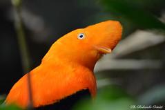 Galletto di roccia _000 (Rolando CRINITI) Tags: gallettodiroccia uccelli uccello birds ornitologia avifauna santalessio cattività