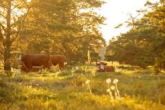 MårtenSvensson_112_2U9A4307 (Bad-Duck) Tags: bete betesmark ko kor kristianstad kväll köttdjur köttras motljus solnedgång