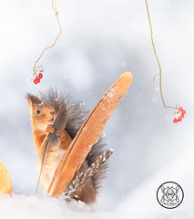 red squirrel is holding a feather in snow (Geert Weggen) Tags: humor mothersday squirrel holidayevent adult animal backlit birthday birthdaypresent bright care celebration closeup cute flower gift greeting greetingcard heartshape horizontal letterdocument looking loveemotion mammal nature partysocialevent photography red rodent smiling sun sweden wallpaperdecor christmastree snow winter present star reach icicle northpole wand magic feather soft snowing bispgården jämtland geert weggen hardeko ragunda