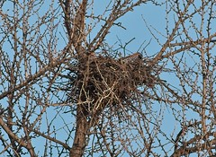 Christo and Amelia's nest with a piece of bark (Goggla) Tags: nest ginkgo 2019 nyc new york east village tompkins square park urban wildlife bird raptor red tail hawk