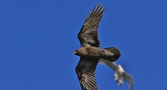 Brown-necked Raven    (Corvus ruficollis) - A Lifer! (nick.linda) Tags: brownneckedraven corvusruficollis ravens cabodepalos photobomb wildandfree rarevisitor galeforcewinds spain canon7dmkii canon100400mkll