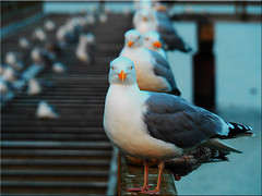 Seagulls (Ostseetroll) Tags: deu deutschland geo:lat=5400134279 geo:lon=1078355877 geotagged schleswigholstein seebrücke timmendorferstrand möwen olympus em10markii seagulls