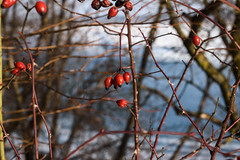 DSC_0966 (yxi137) Tags: red berries spring winter helios helios81n гелиос гелиос81н