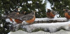 All Together Now... (robinlamb1) Tags: nature outdoor animal bird robin americanrobin turdus migratorius bath tree trees snow water drinking