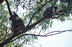 Grunty and Valentine (nickant44) Tags: south australia koala gum tree animal fur