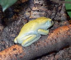 Makifrosch (Phyllomedusa sauvagii) P1050069 (martinfritzlar) Tags: zoo frankfurt zoofrankfurt tier amphibie frosch greiffrosch wachsgreiffrosch makifrosch warzigermakifrosch warzigerlemurenfrosch phyllomedusidae phyllomedusa phyllomedusasauvagii amphibian frog treefrog waxymonkeytreefrog