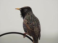 Starling (Simply Sharon !) Tags: starling bird gardenbird wildlife britishwildlife nature inthegarden gardenvisitor march