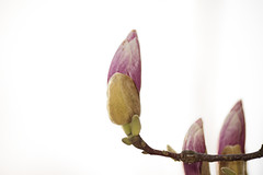 Les cierges roses - The pink candles (p.franche on - off) Tags: magnolia fleur bouton rose macro ciel branche nature jardin arbre pétales veines flower bud pink sky branch garden tree petals veins bokeh sony sonyalpha65 dxo photolab2 bruxelles brussel brussels belgium belgique belgïe europe pfranche pascalfranche schaerbeek schaarbeek blume 花 blomst flor פרח virág bunga bláth blóm bloem kwiat цветок kvetina blomma květina ดอกไม้ hoa زهرة baum 樹 trae árbol δέντρο fa albero ツリー treet drzewo дерево ต้นไม้ hiver winter blanc white