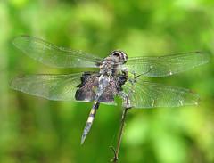 Black saddlebags (Tramea lacerata) - Vicki DeLoach (Vicki's Nature) Tags: blacksaddlebags big dragonfly blue black wings biello georgia vickisnature canon s5 0274 brokenwing