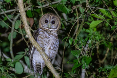 Rusty-barred Owl - Brazilian Birds - Species # 279 (Bertrando©) Tags: strixhylophila rustybarredowl corujalistrada aves birds pássaros natureza nature wildlife birdlife birdier birding birdwatching birdwatcher birdwatch brasil brazil brazilianbirds naturalworld naturalbeauty bertrando campos